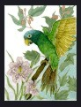 Blue Crown Conure Parrot
